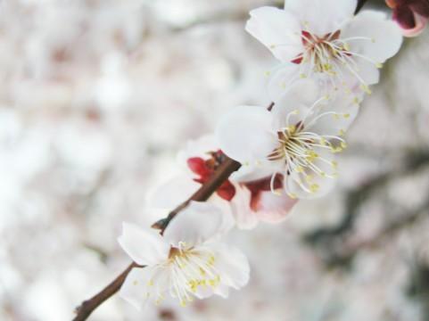 桜花アップ