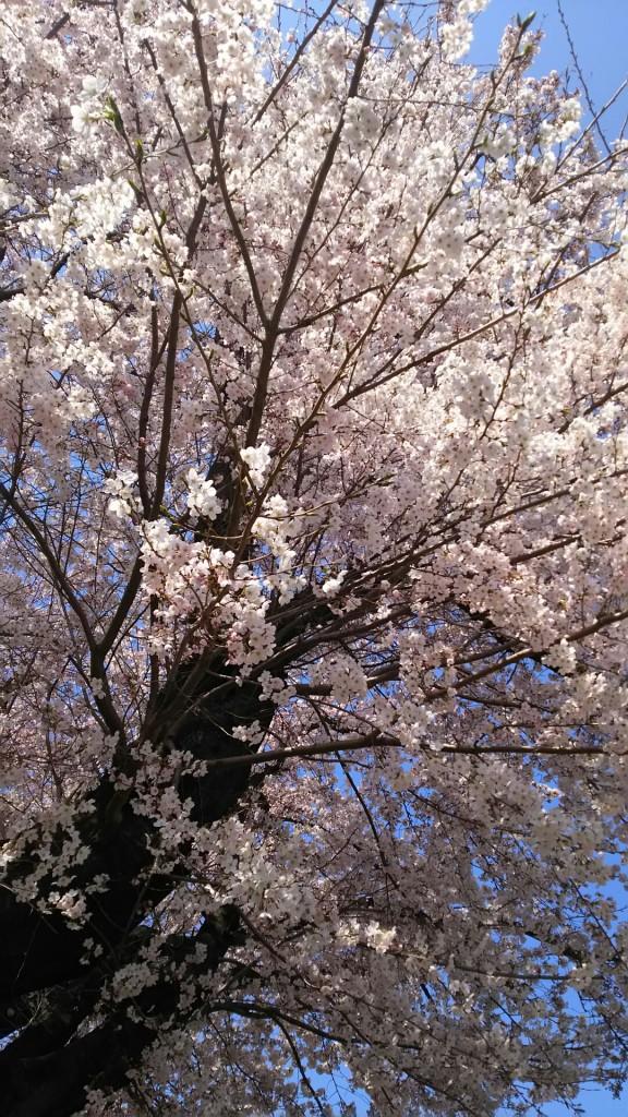 南公園の桜アップ