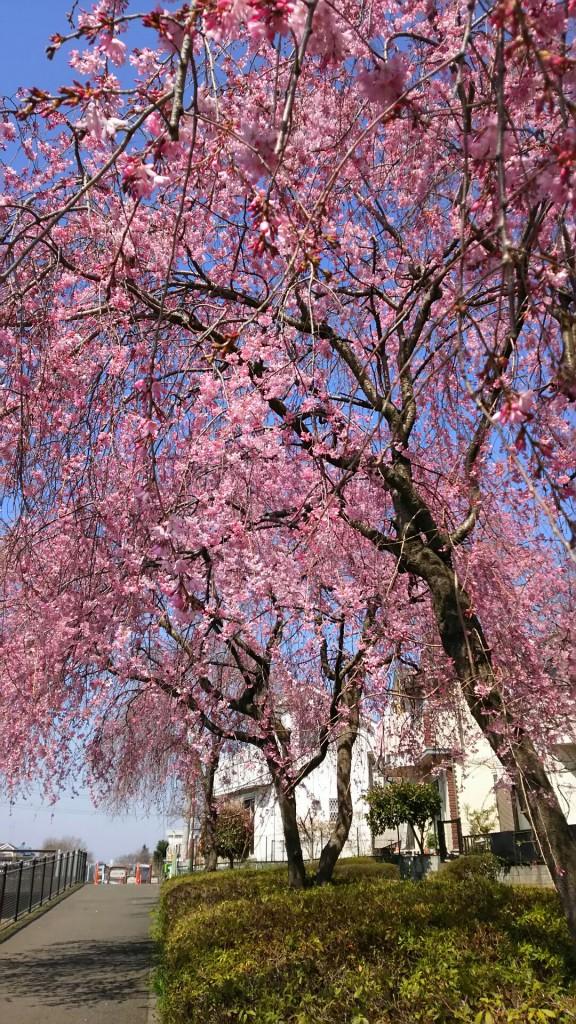 村山垂れ桜