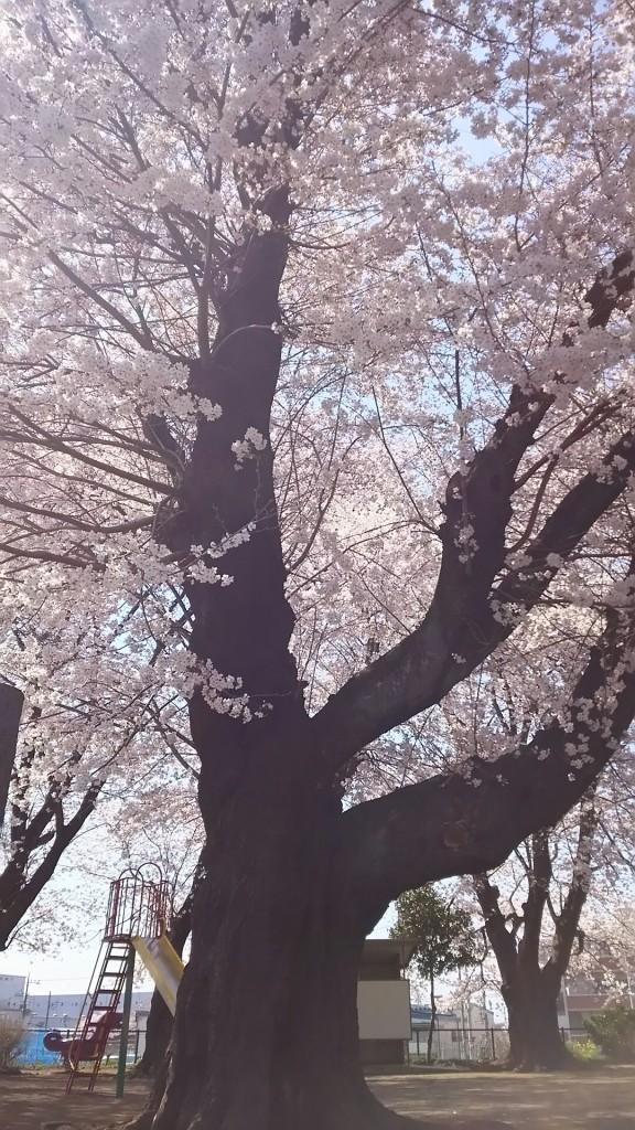 南公園の桜